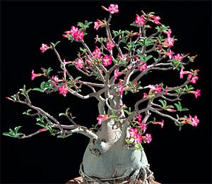 До тех пор, пока сок адениума не попал на кожу или в пищеварительный тракт, растение безвредно, но при отравлении может стать причиной смерти.