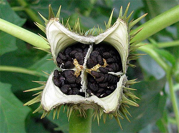 Именно зерна используются в различных практиках для получения галлюциногенного эффекта.