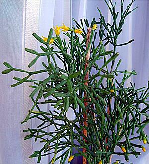 Как у многих молочайных, у тирукалли очень горький жгучий сок, но в отличите от многих родственников это растение ещё и ядовито.