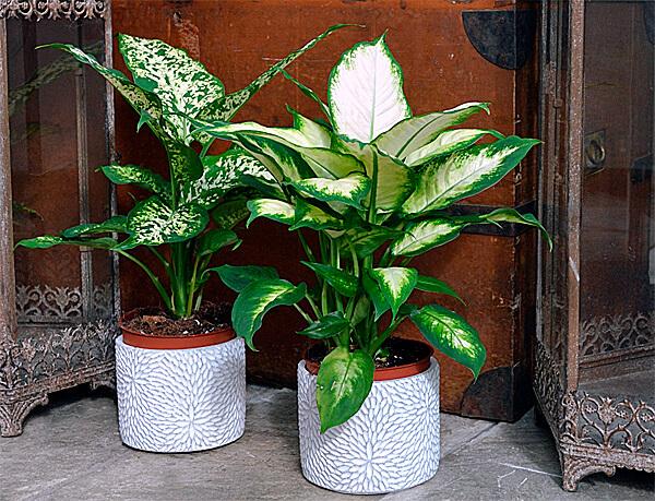 Диффенбахия очень декоративна и потому её выращивают даже несмотря на опасность её.