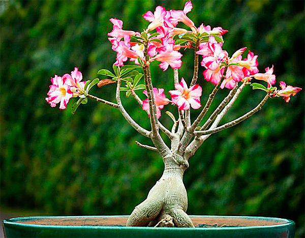 Ствол адениума действительно деревянистый и очень прочный, но при его повреждении выделяется ядовитый растительный сок.