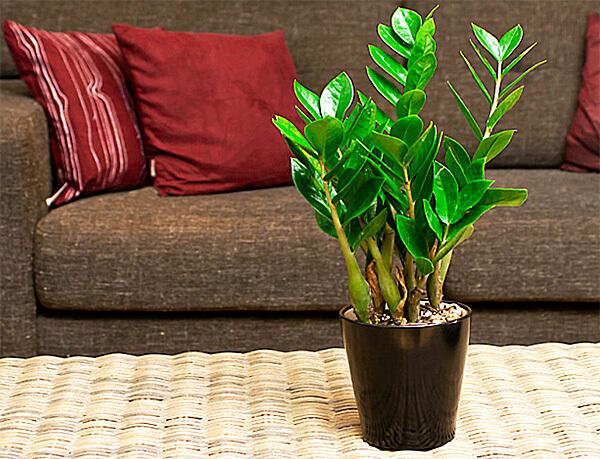 Как и у большинства других опасных комнатных растений, у замиокулькаса ядовит сок в побегах и листьях.