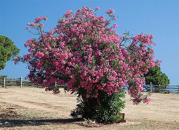В Греции и Италии олеандр высаживается вдоль дорог и изгородей для украшения их.