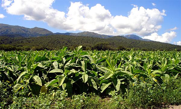 Ни одно из опасных растений в мире не сравнится с табаком по количеству убитых людей.
