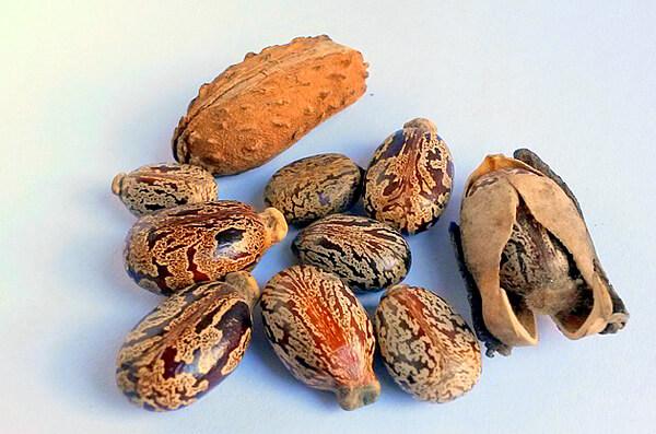 Семена клещевины, содержащие большие количества рицина.