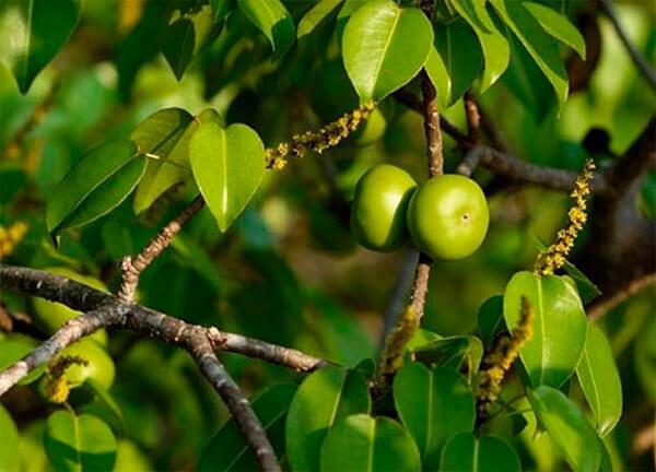 Хоть вкус плодов манцинеллы очень жгучий, нередко люди ели их при сильном голоде и травились ими.