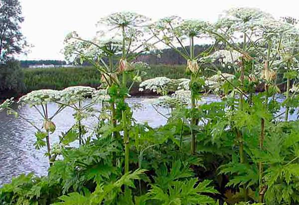 У болиголова ядовито все растение, но больше всего токсинов сосредоточено в корневищах.