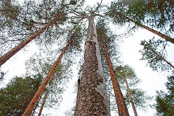 Сушину выдаёт в том числе кора, совершенно сухая и трухлявая, отсутствие хвои (или листьев у лиственных пород) на ветвях, характерный звонкий звук при постукивании по стволу.