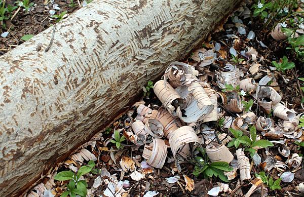 Даже в сыром лесу береста достаточно суха для того, чтобы загореться от спички.